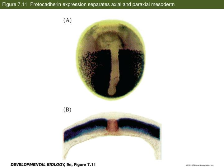 Figure 7.11  Protocadherin expression separates axial and paraxial mesoderm