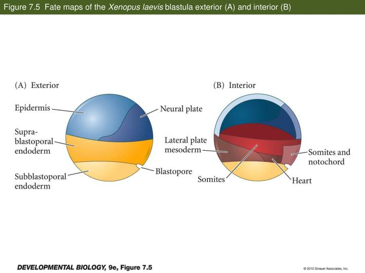 Figure 7.5  Fate maps of the