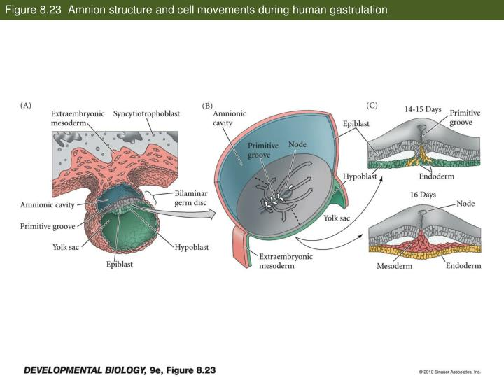 Figure 8.23  Amnion structure and cell movements during human gastrulation