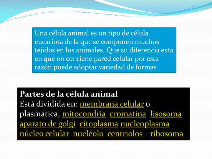Una célula animal es un tipo de célula eucariota de la que se componen muchos tejidos en los animales. Que su diferencia esta en que no contiene pared celular por esta razón puede adoptar variedad de formas