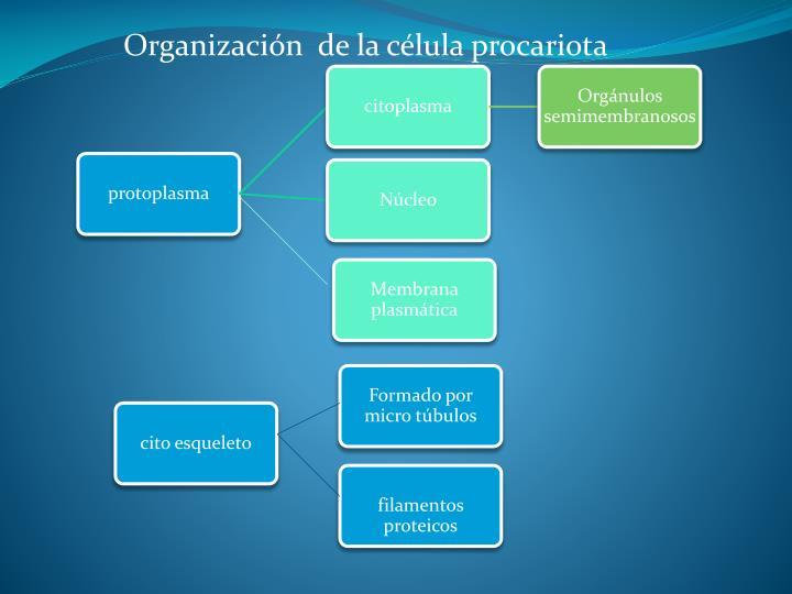 Organización  de la célula procariota
