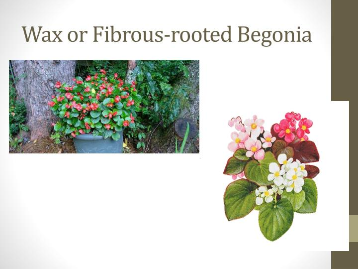Wax or Fibrous-rooted Begonia