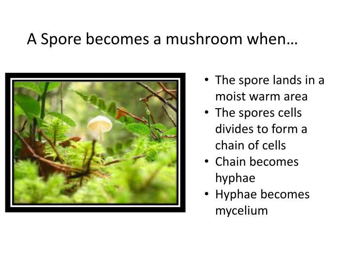 A Spore becomes a mushroom when…