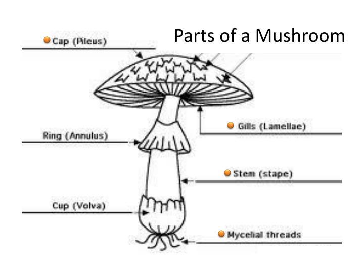 Parts of a Mushroom