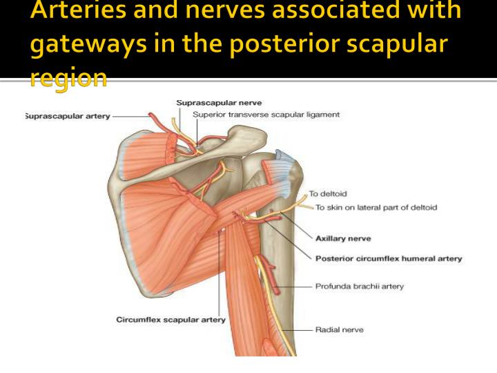 Arteries and nerves associated with gateways in the posterior scapular region