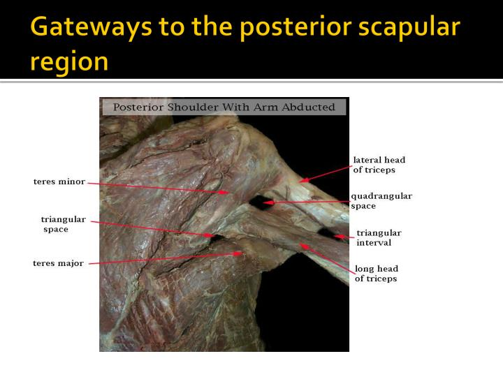Gateways to the posterior scapular region