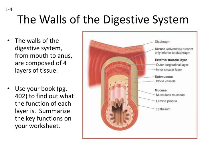 The walls of the digestive system