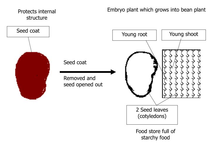 Embryo plant which grows into bean plant