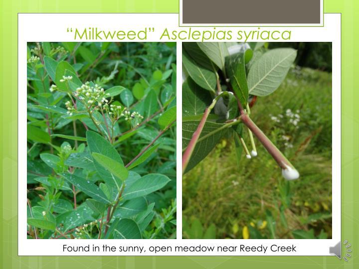 """""""Milkweed"""""""