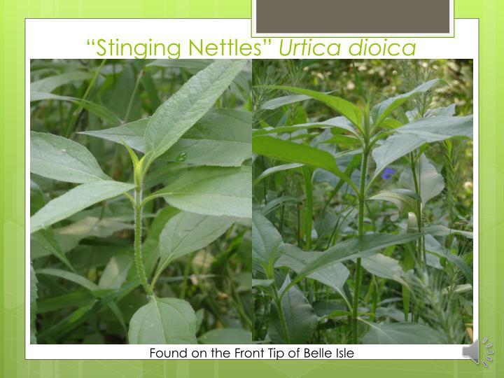 """""""Stinging Nettles"""""""