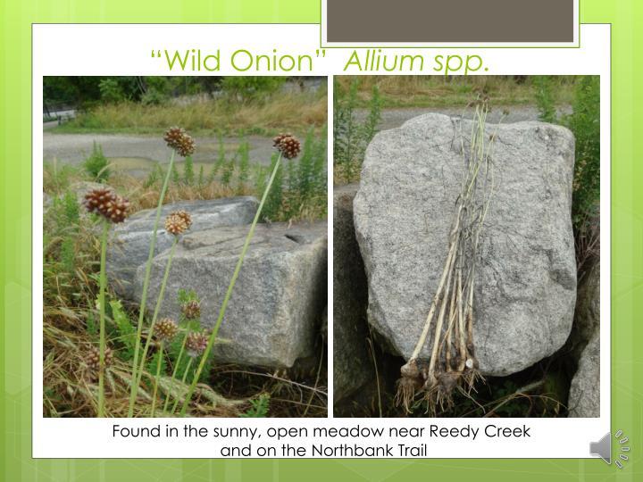 """Wild Onion"""