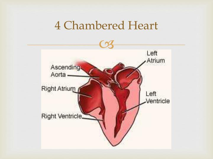 4 Chambered Heart