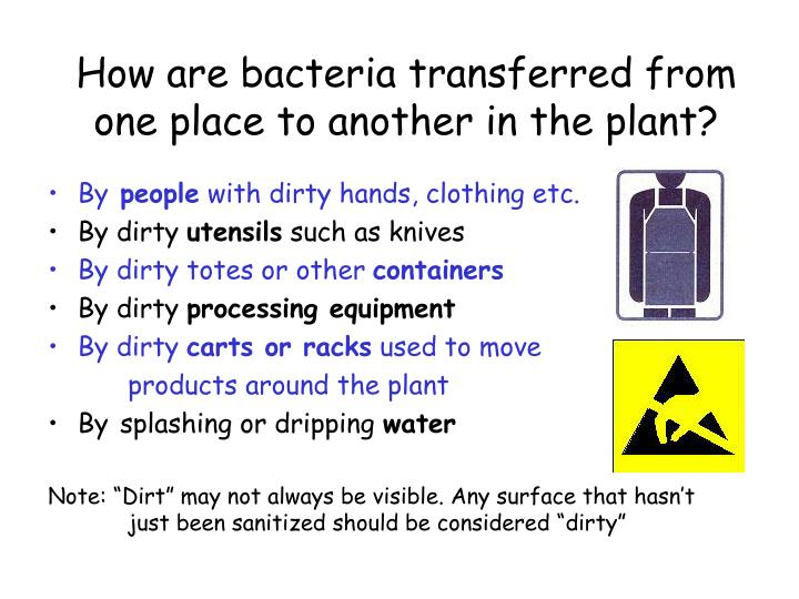 How are bacteria transferred from one place to another in the plant?