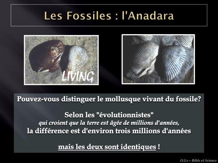 Les Fossiles : l'Anadara