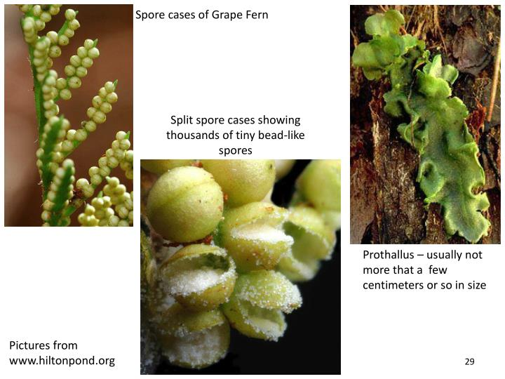 Spore cases of Grape Fern
