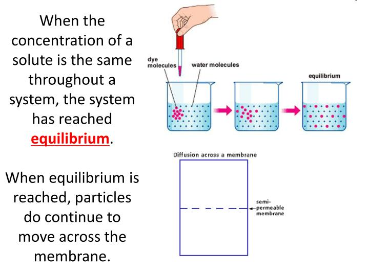 When the concentration of a solute is the same throughout a system, the system has reached