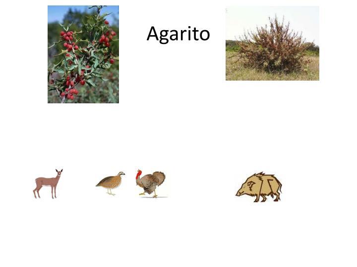 Agarito
