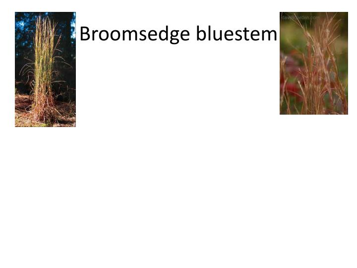 Broomsedge