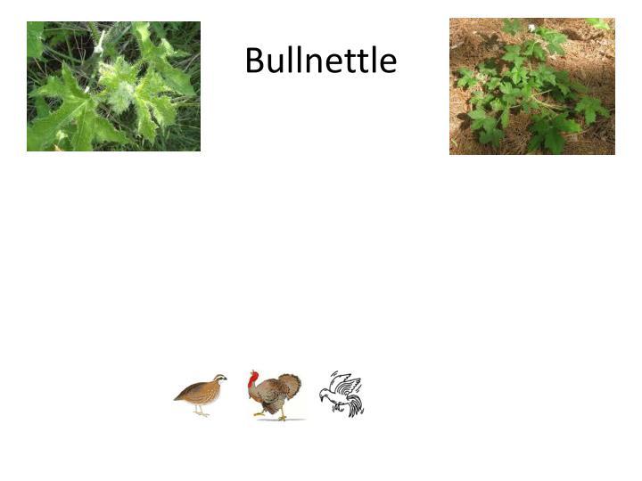 Bullnettle