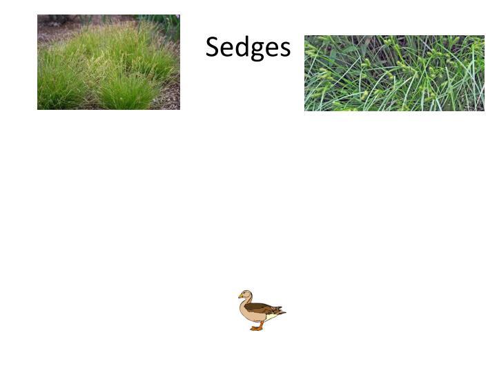 Sedges