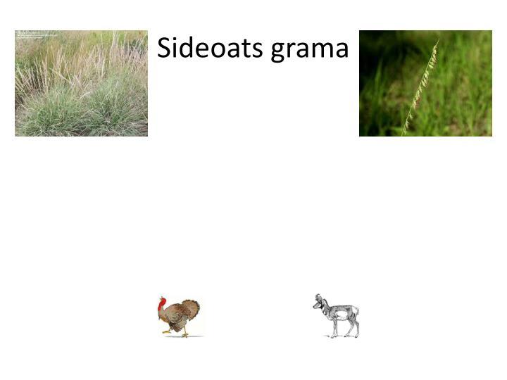 Sideoats