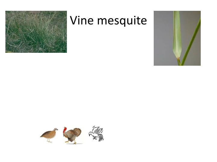 Vine mesquite
