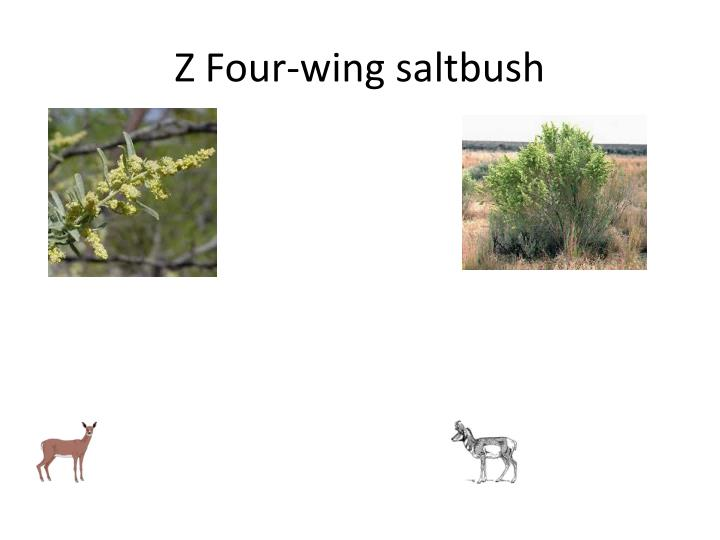 Z Four-wing saltbush