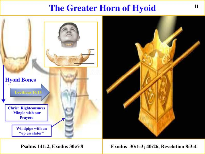 The Greater Horn of Hyoid