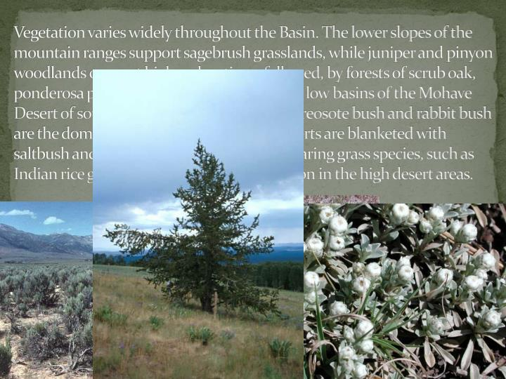 Vegetation varies widely throughout the Basin. The lower slopes of the mountain ranges support sagebrush grasslands, while juniper and