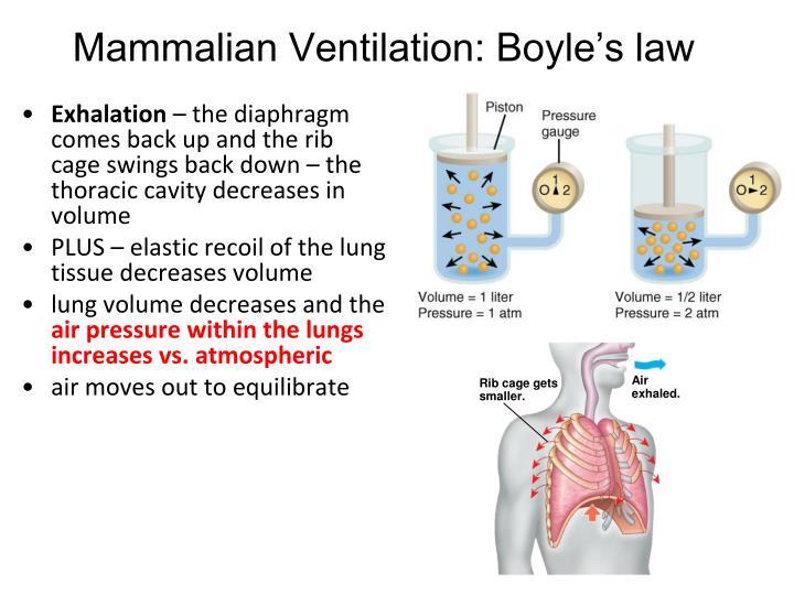 Mammalian Ventilation: Boyle's law