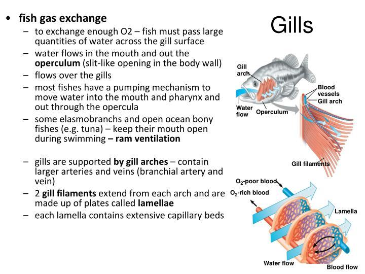 fish gas exchange