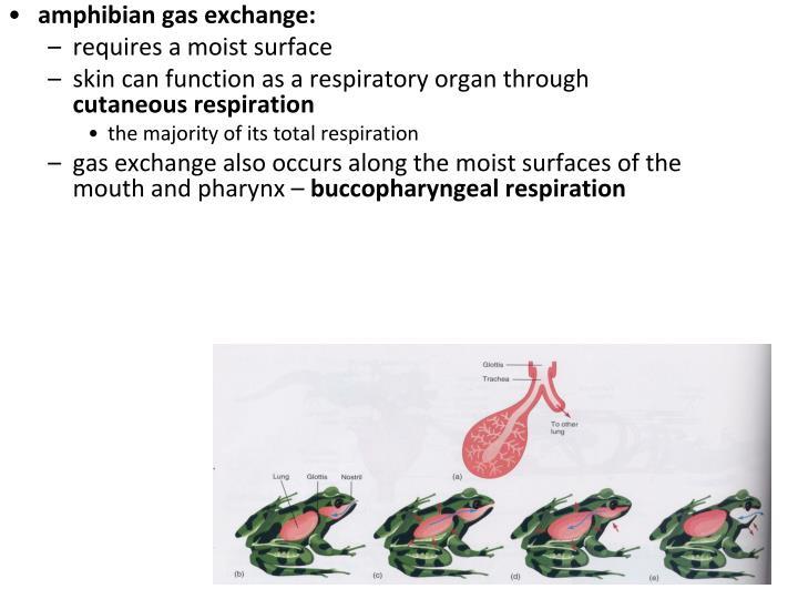 amphibian gas exchange: