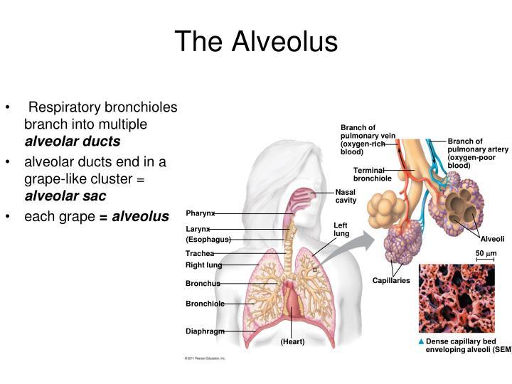 The Alveolus