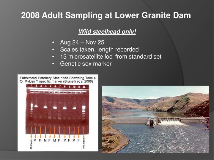 2008 Adult Sampling at Lower Granite Dam