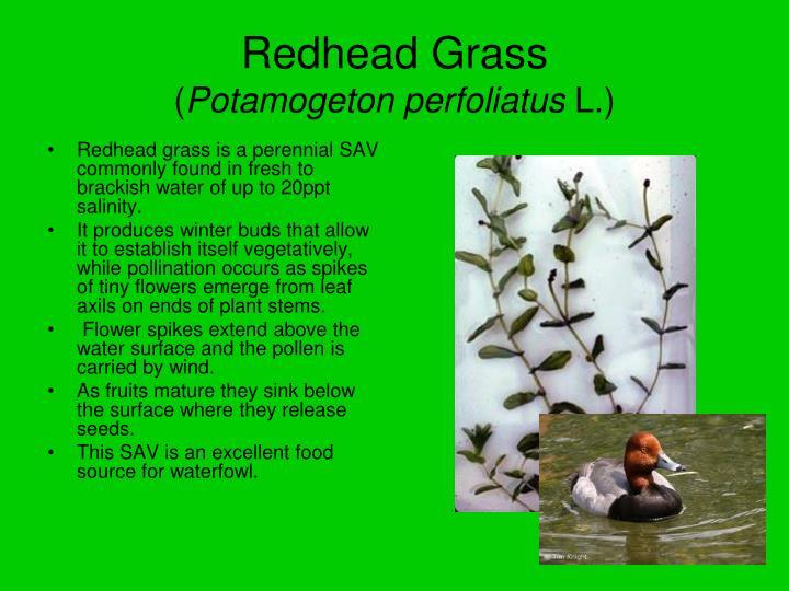 Redhead Grass