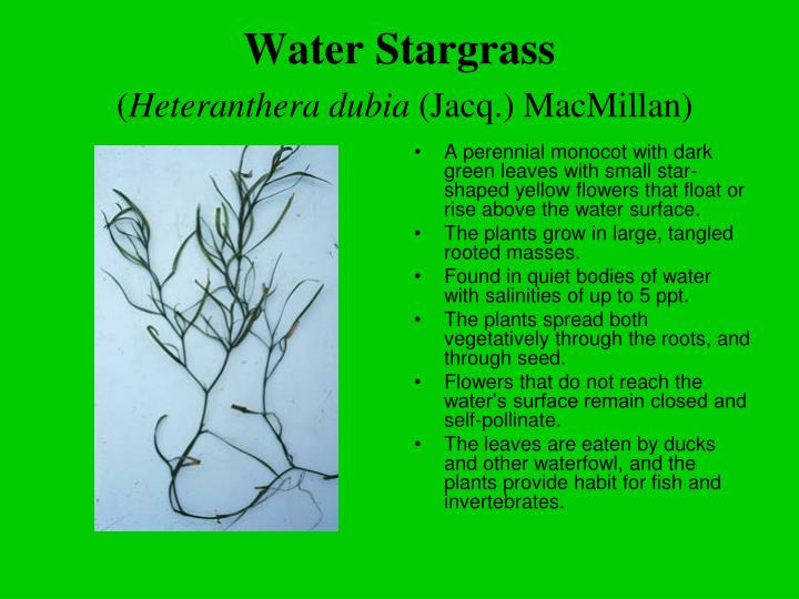 Water Stargrass