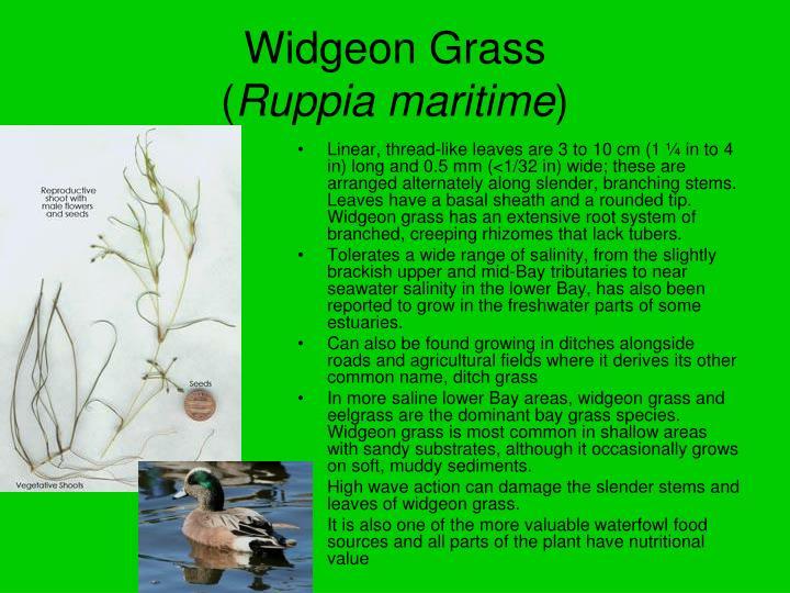 Widgeon Grass