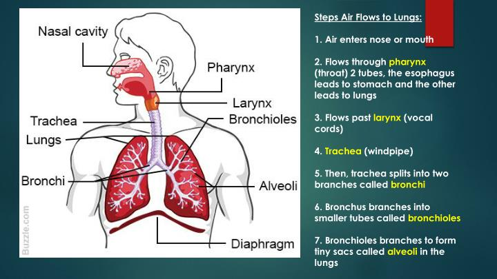 Steps Air Flows to Lungs: