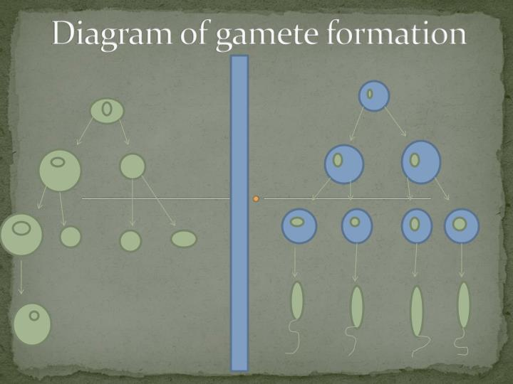 Diagram of gamete formation