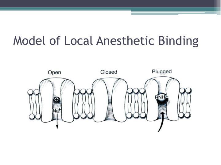 Model of Local Anesthetic Binding