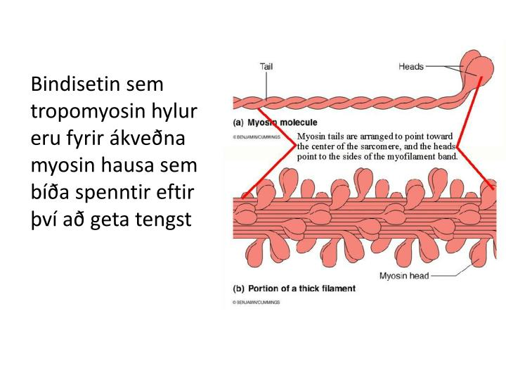 Bindisetin