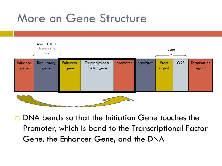 More on Gene Structure