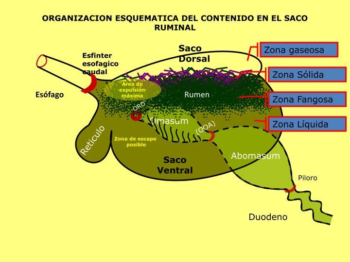 ORGANIZACION ESQUEMATICA DEL CONTENIDO EN EL SACO RUMINAL