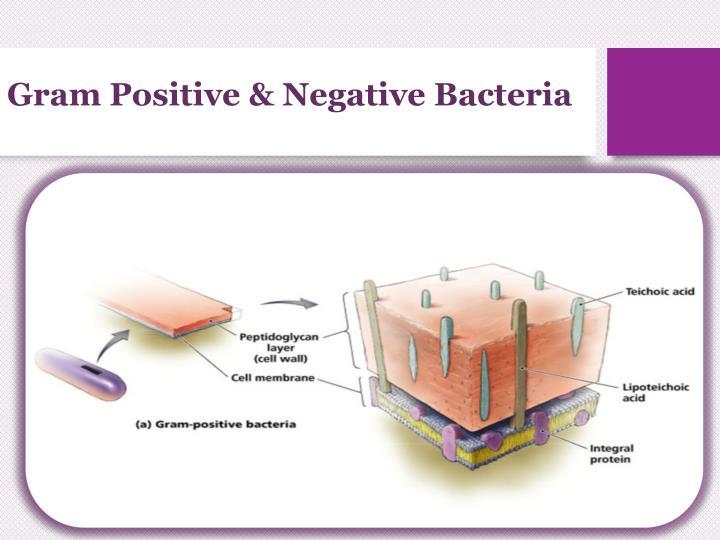 Gram Positive & Negative Bacteria