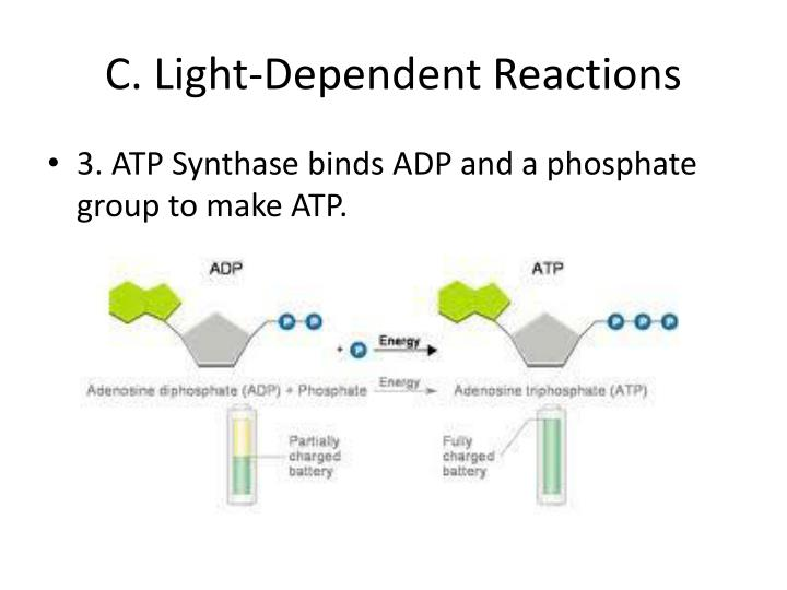 C. Light-Dependent Reactions