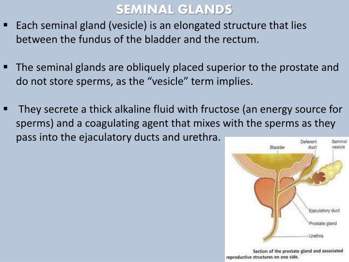 SEMINAL GLANDS