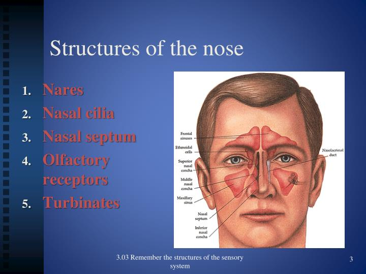 Structures of the nose