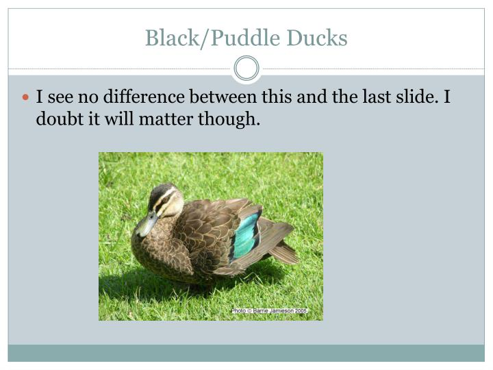 Black/Puddle Ducks