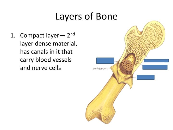 Layers of Bone