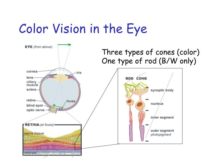 Color Vision in the Eye